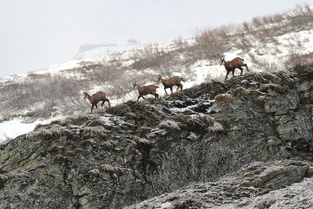 Vanoise : les chamois