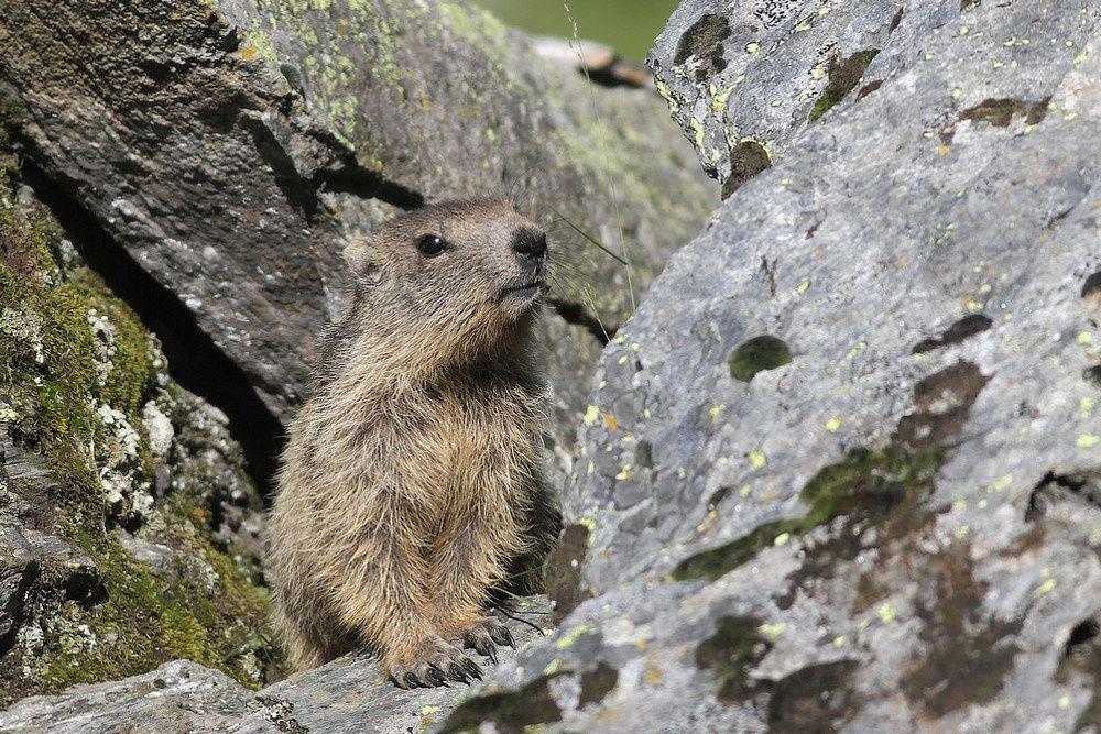 Séjour en Vanoise : marmottes (suite)