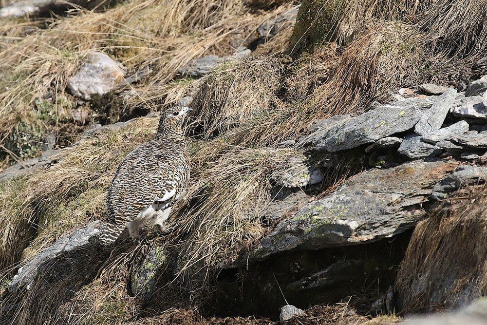 Le lagopède alpin : la femelle
