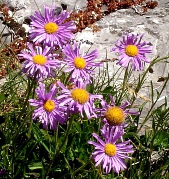 Asters des Alpes.