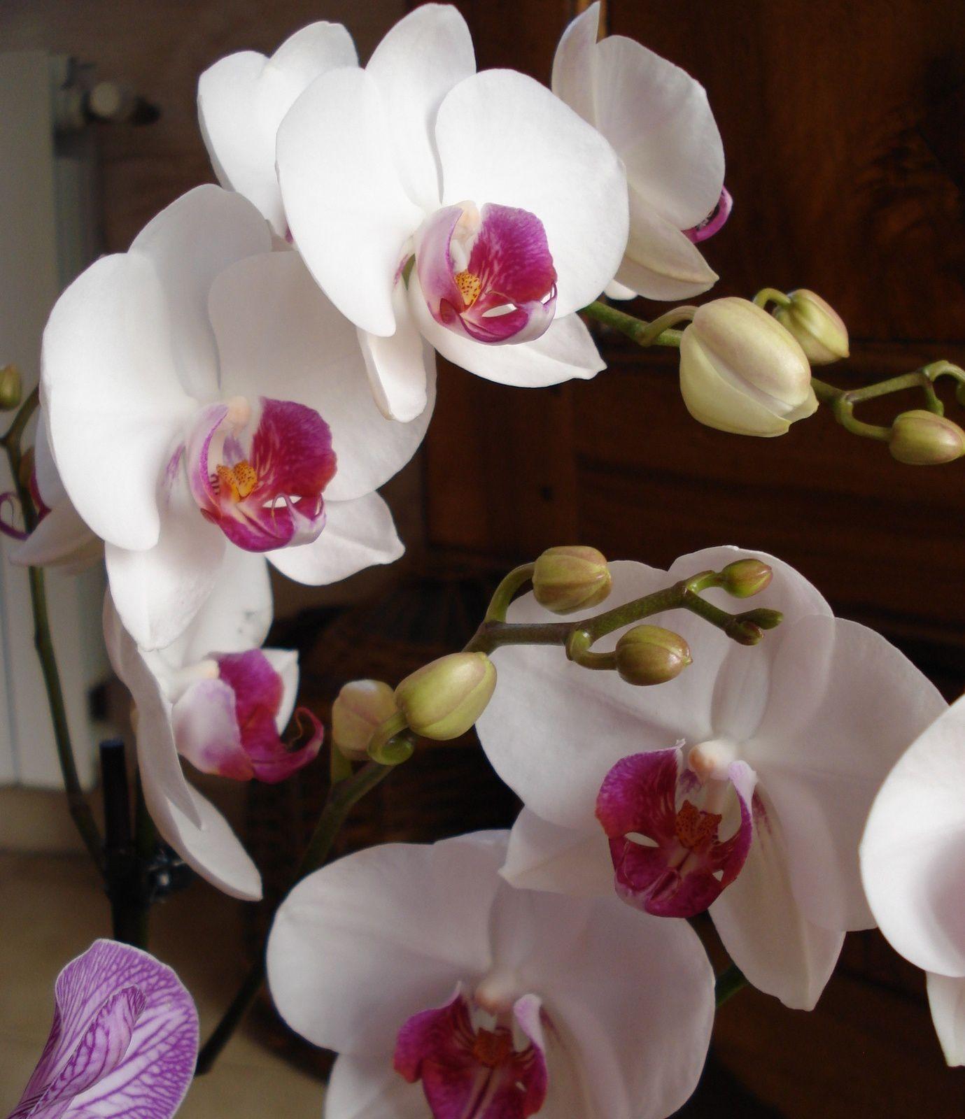 Orchidée.