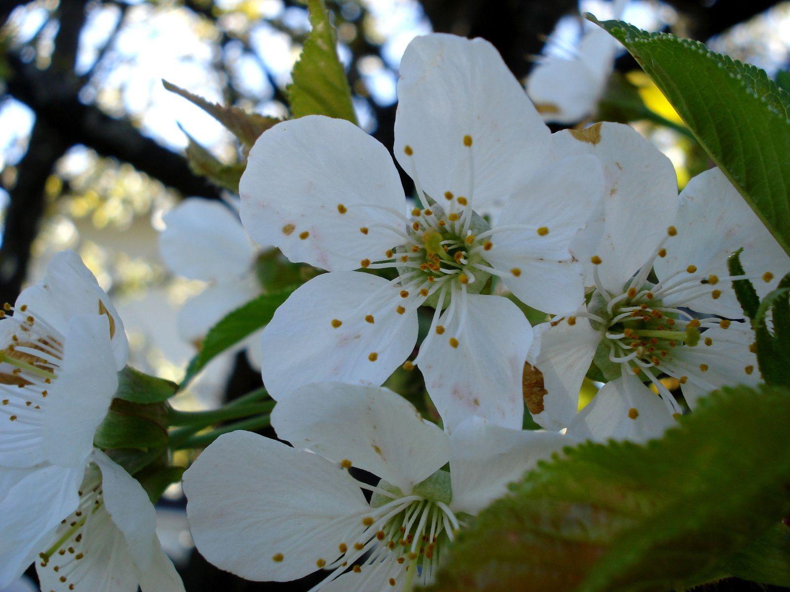 Petites fleurs de cerisier.