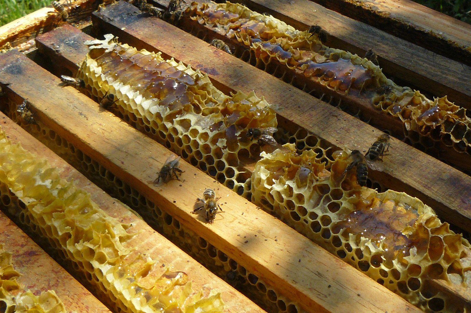 Le miel, du colza probablement, rentre dans les ruches