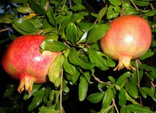 Fruits et légumes acclimatés chez nous