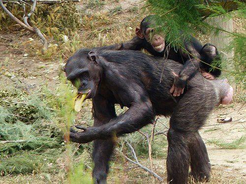 La gestuelle des chimpanzés.