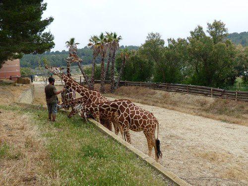 Dans l'univers des girafes