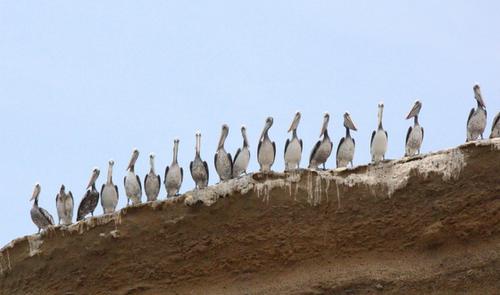 Ballestas, l'île aux oiseaux .
