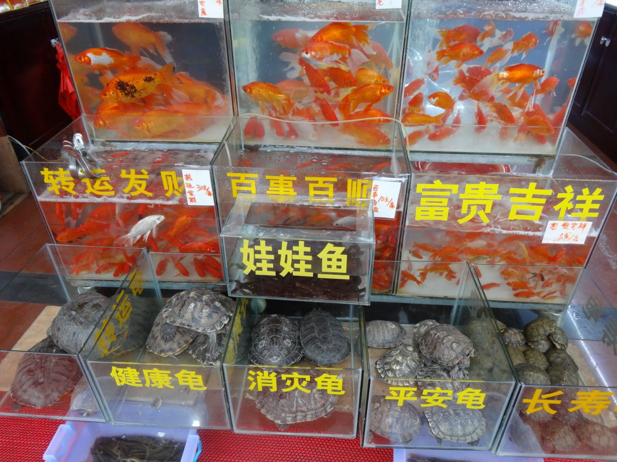 Tortues et poissons rouges en Chine