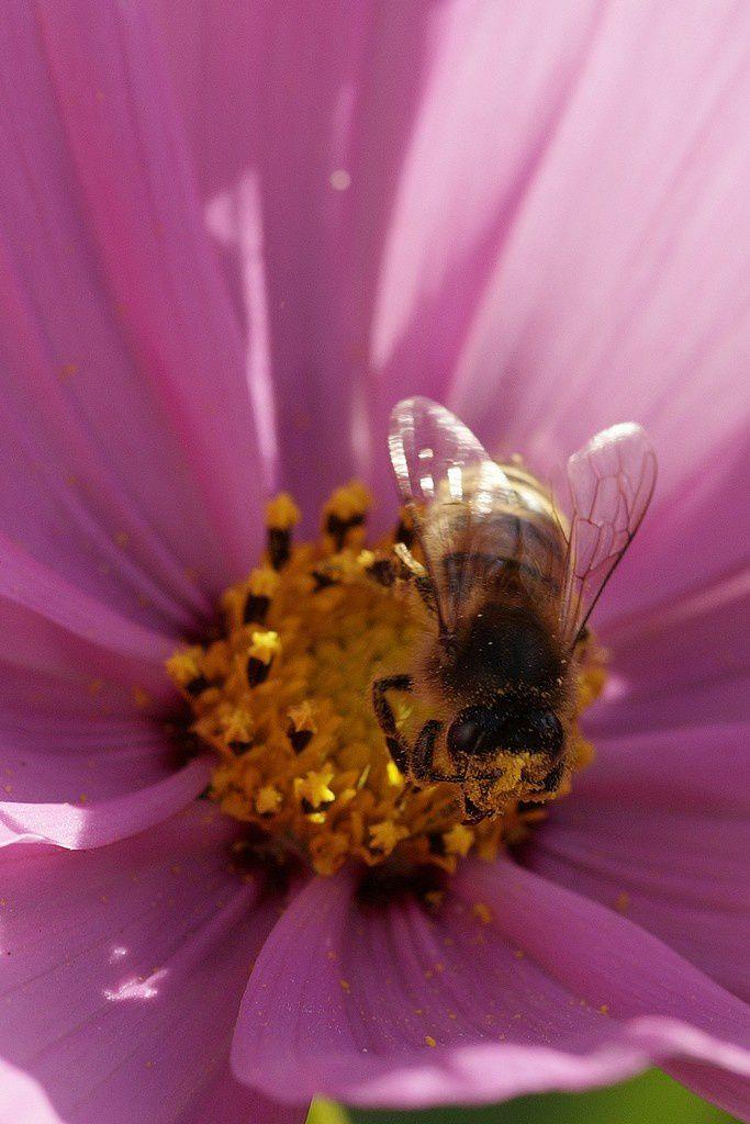 Les abeilles du Domaine départemental de Lindre : animation le 13 août - Crédits : Daniel Pernet