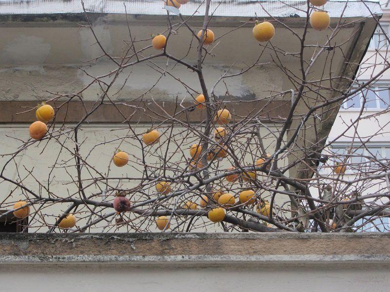 Ne dirait on pas un arbre de Noël orné de boules mais sans guirlandes ? C'est toujours l'impression que me fait l'arbre à kakis. J'avais éssayé d'en faire de la confiture lorsque j'étais à Kiev, mais elle était immangeable !