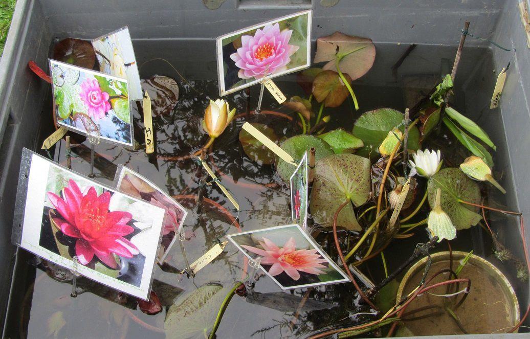 L'occasion de vous donner des nouvelles de mes lotus, qui n'ont pas apprécié le déméngeent de leur petit vase dans une vasque un peu plus grande. Sinon voilà ce que cela aurait pu donner avec un peu plus de chance.