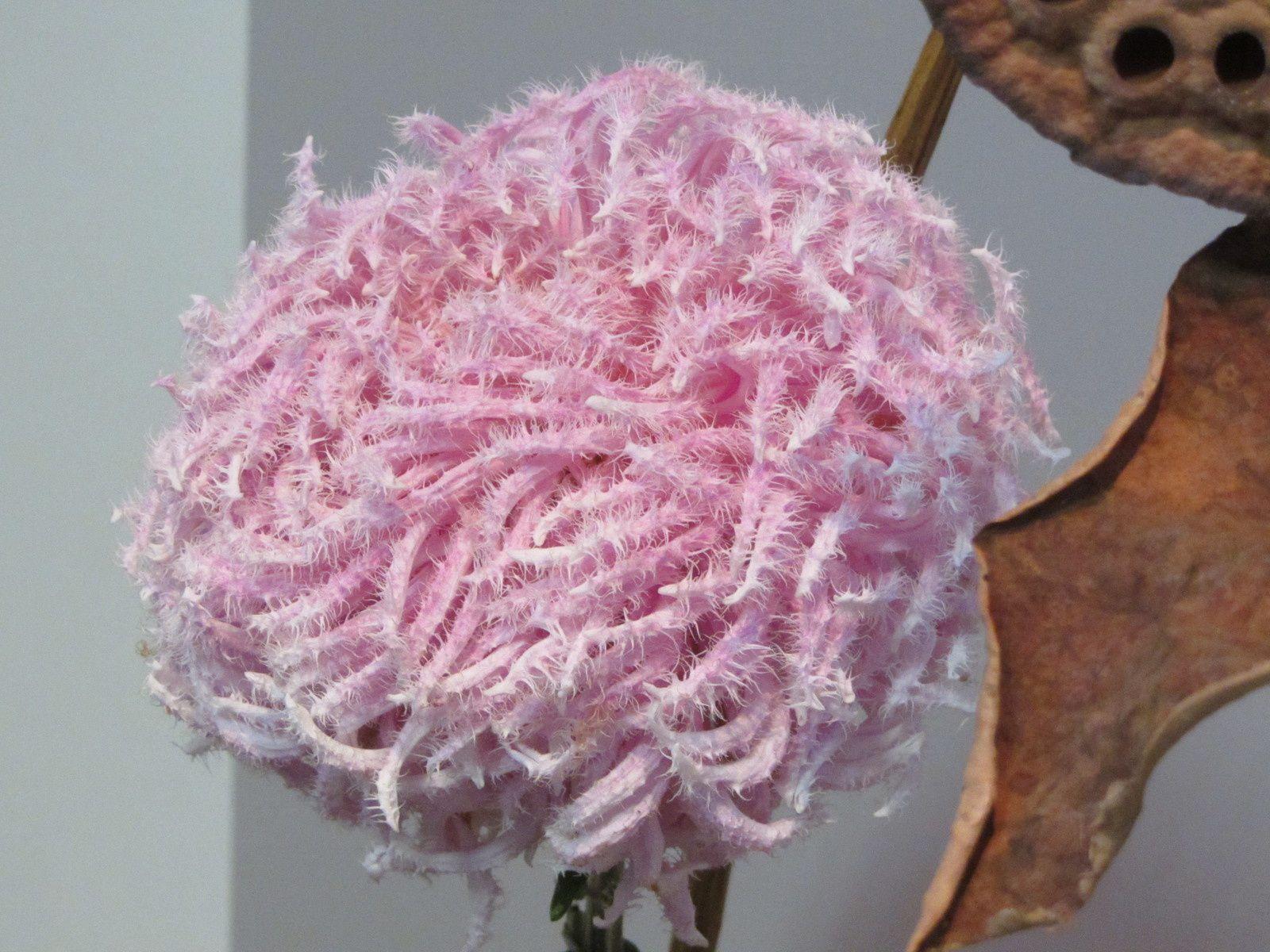 Chrysanthème duveteuse.
