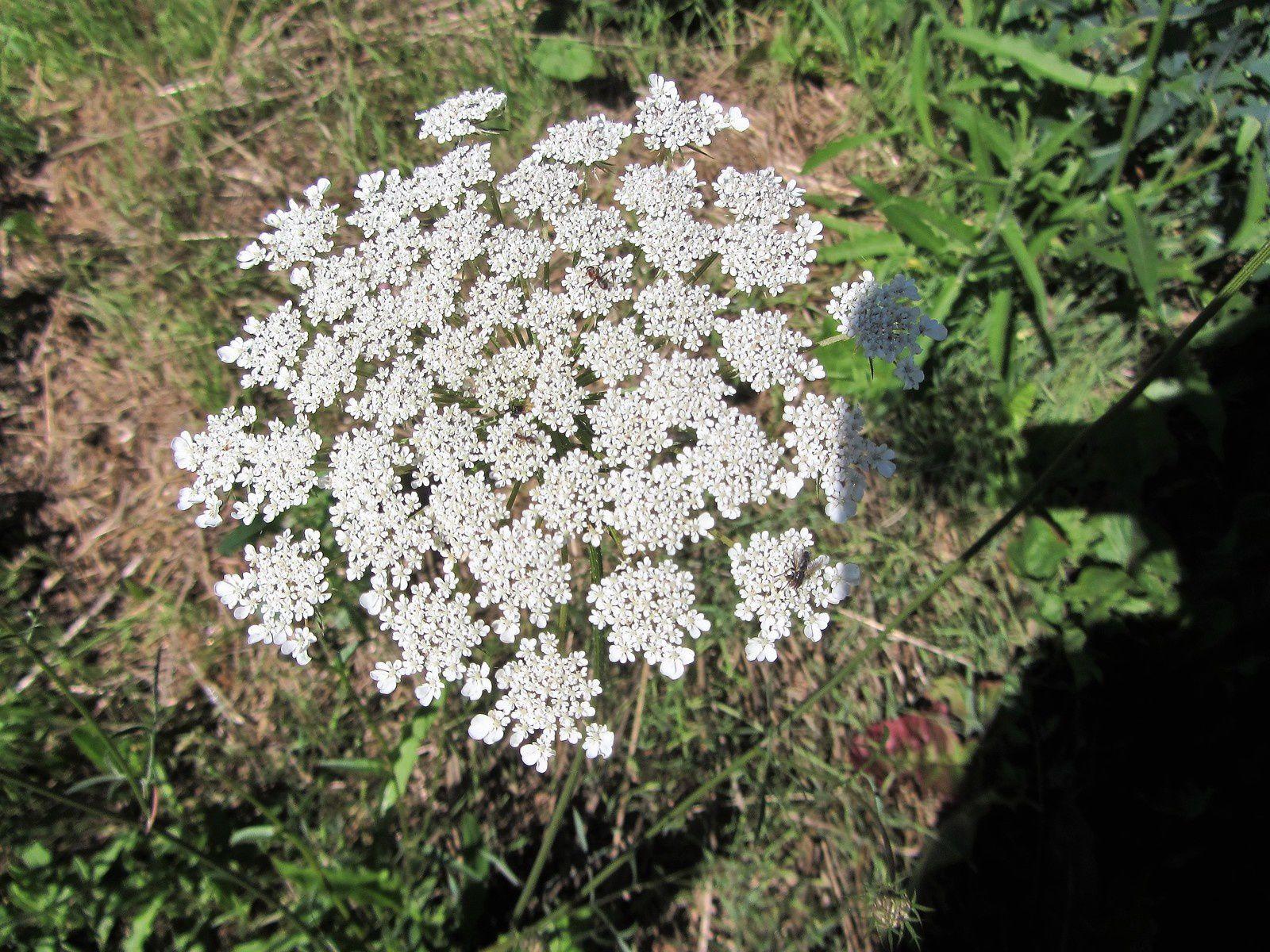 Quelques photos de fleurs des champs.Photos glanées au cours de nos vacances cet été.