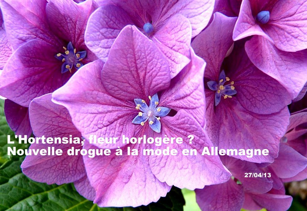 hortensia, histoire des fleurs, Hortense Nicole-Reine Lepaute