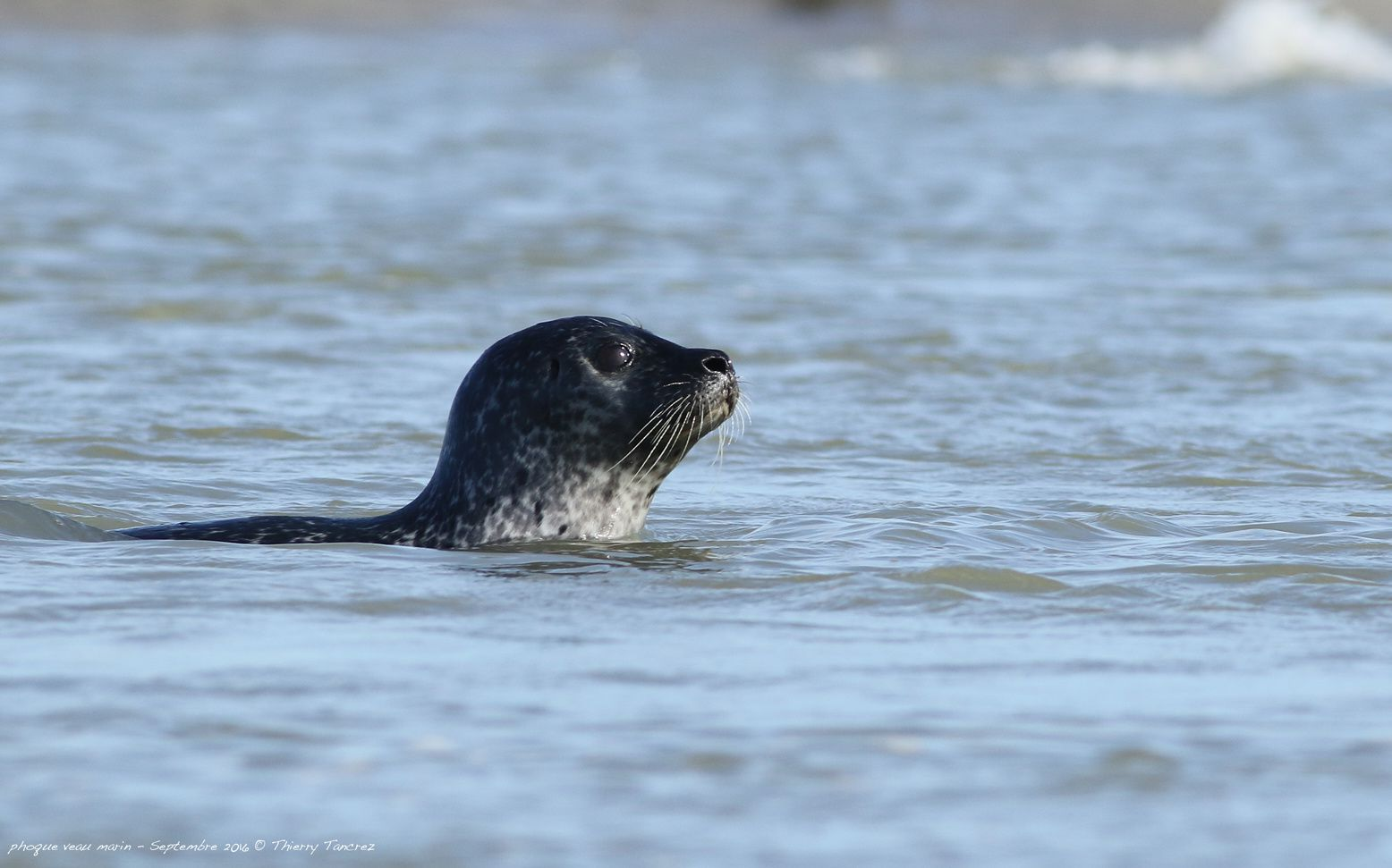 Les phoques veau marin