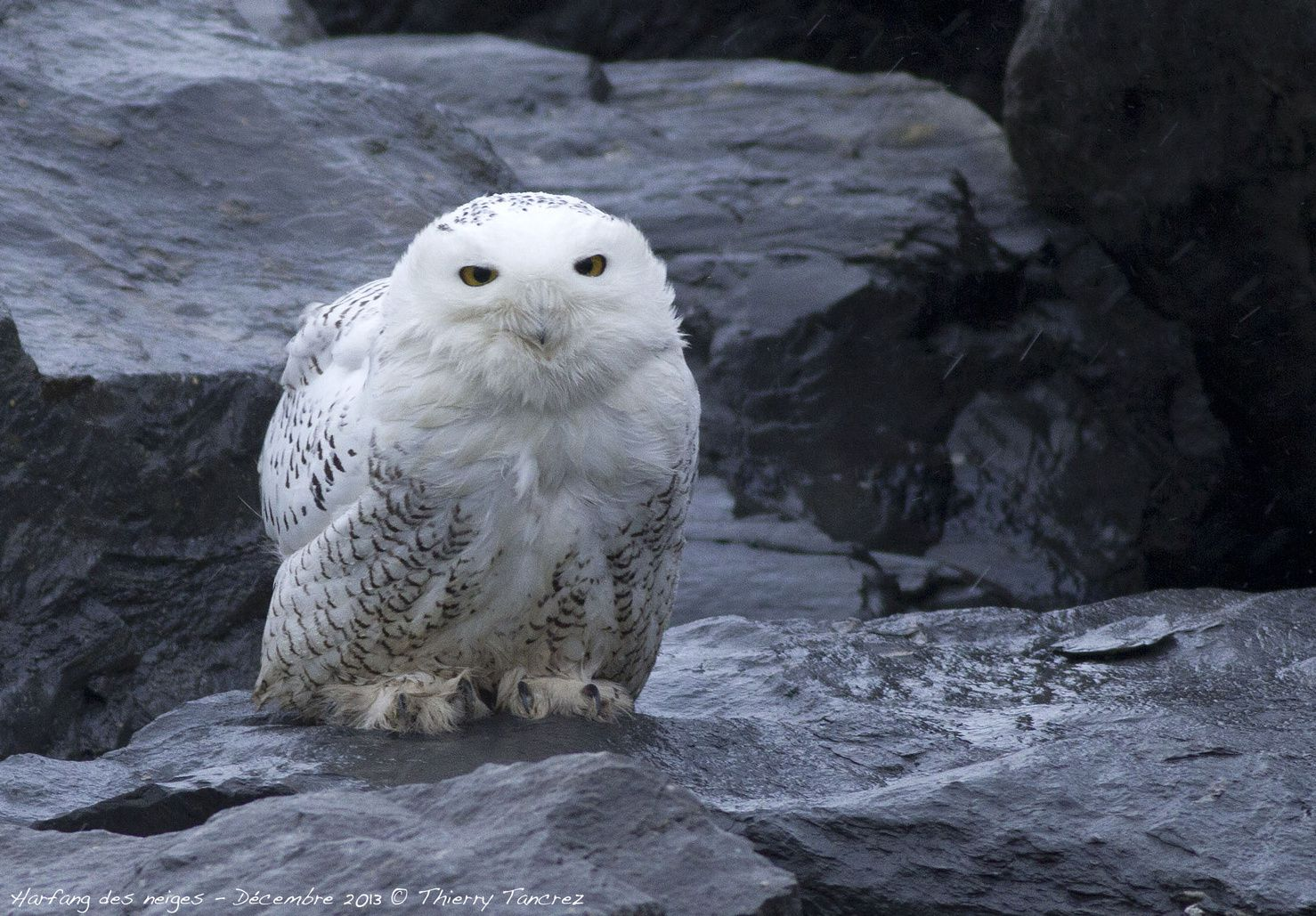 Snowy Owl aboard the Independent Concept. Photo taken by captain/crew of ship.