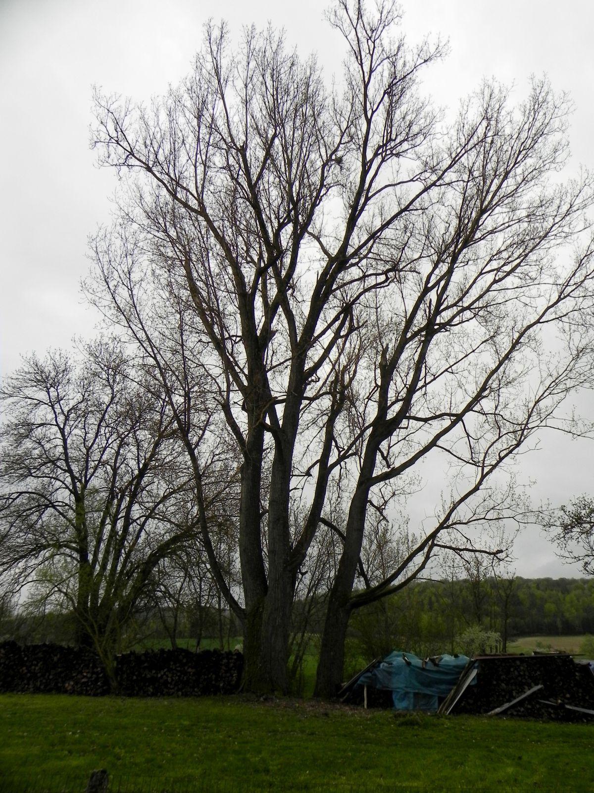Des arbres magnifiques sur le terrain où était leur maison. Ils ont été planté au moment de leur déportation.