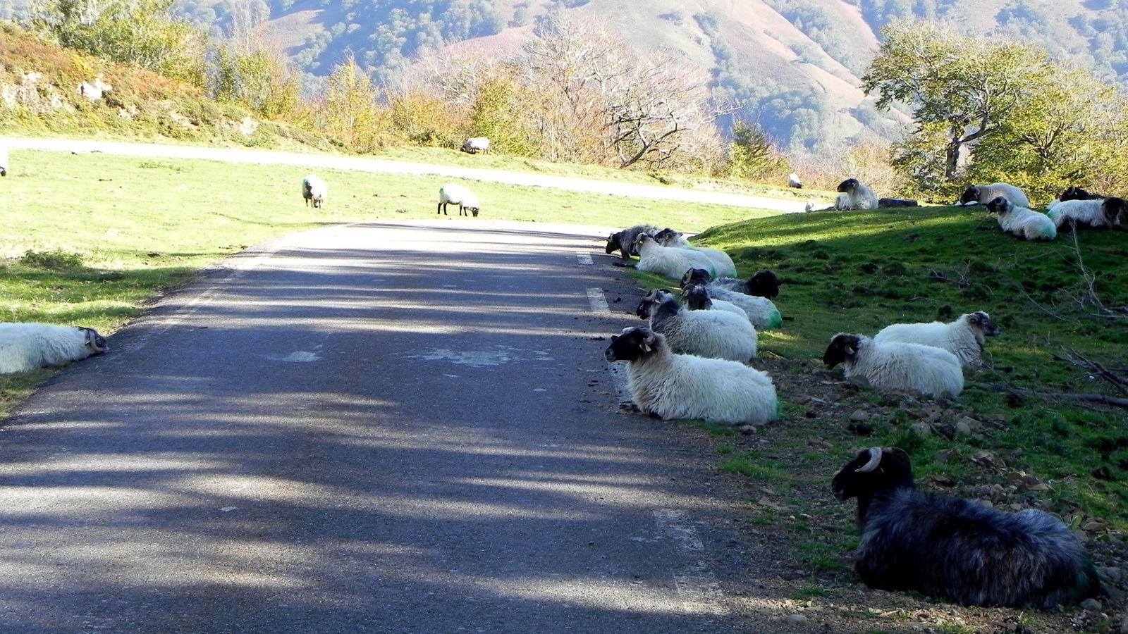 En descendant vers Larrau, nous avons rencontré ces moutons à tête noire de race Manech, originaires du Pays Basque. Ils sont élevés surtout pour leur lait avec lequel est fabriqué le fameux fromage appellation d'origine contrôlée Ossau-Iraty.