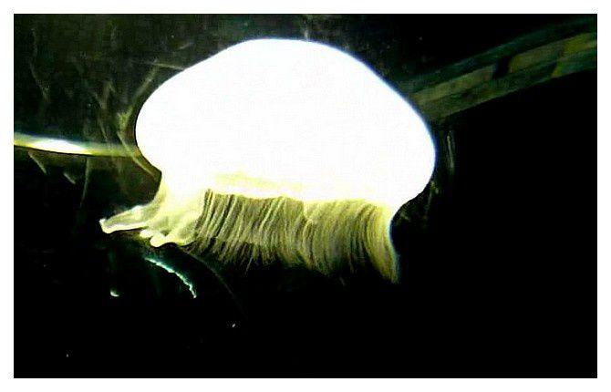 méduse commune