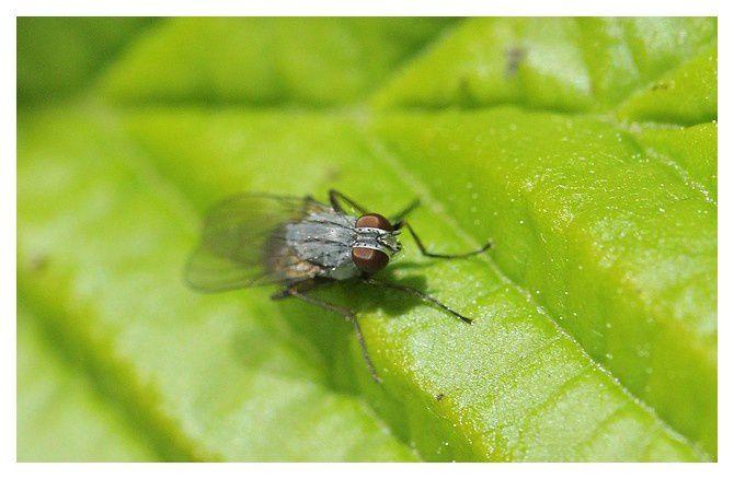 mouche à identifier    ordre des diptères,