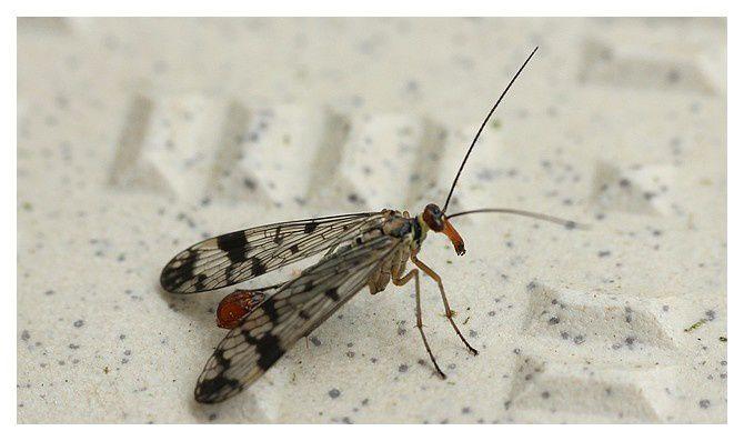 panorpe commune ou mouche scorpion, male... Panorpa communis&#x3B; ordre des mécoptères, famille des panorpidés