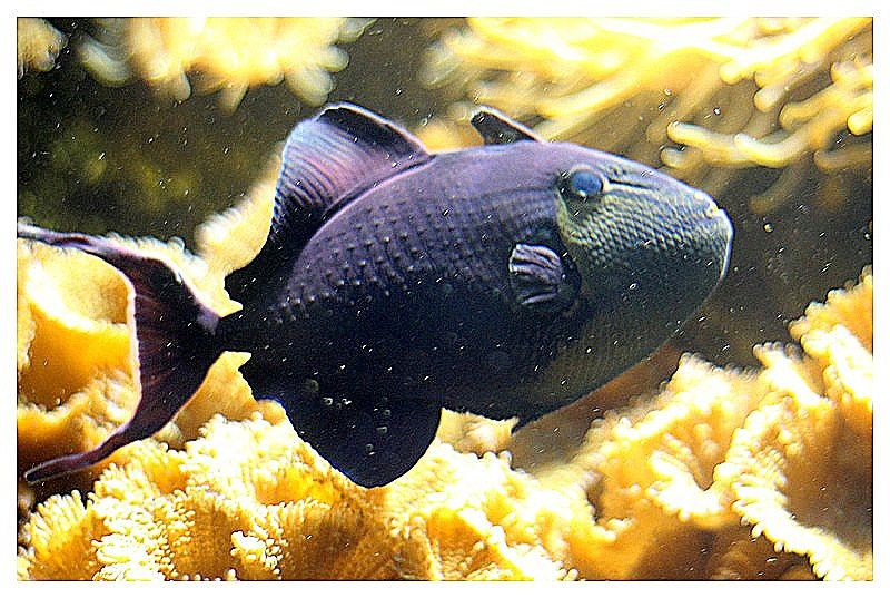 Baliste bleu  (Odonus niger)&#x3B; ordre des tétraodontiformes&#x3B; famille des balistidés