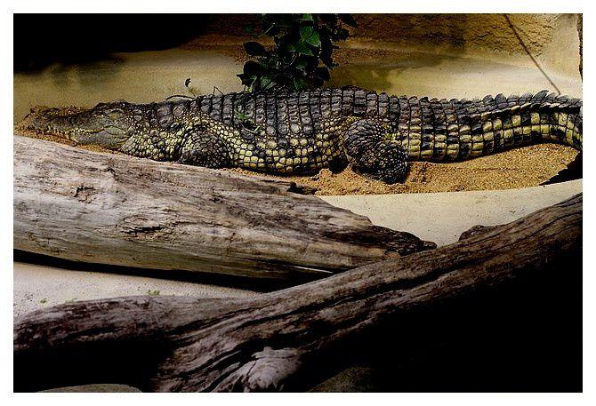 crocodile du Nil ... Crocodylus niloticus&#x3B; ordre des crocodiliens, famille des Crocodylidés