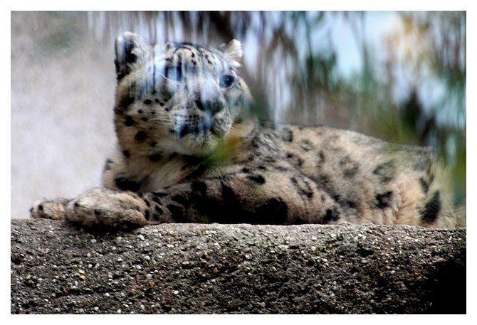 panthère des neiges ou once ... Panthera uncia &#x3B; ordre des carnivores&#x3B; sous ordre des féliformes&#x3B; famille des félidés