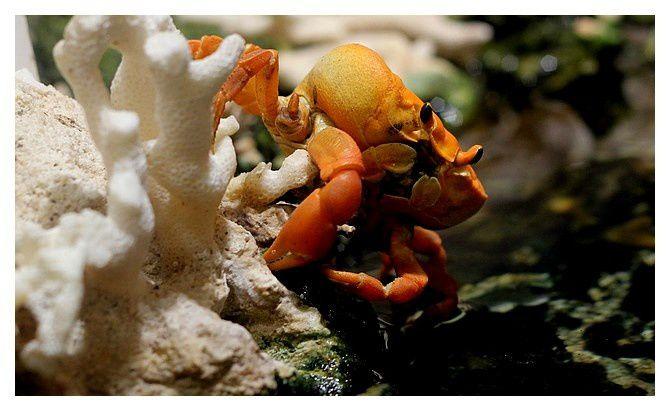 crabe de Clipperton ... Gecarcinus (Johngarthia) planatus&#x3B; classe des malacostracés &#x3B; ordre des décapodes&#x3B; famille des gecarcinidés