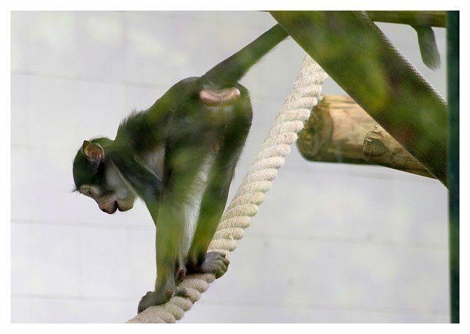 mangabey couronné ... Cercocebus atys lunulatus&#x3B; ordre des primates&#x3B; famille des cercopithécidés