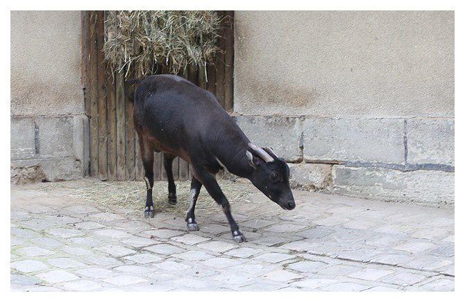 anoa des plaines ... Bubalus depressicornis&#x3B; ordre des cétartiodactyles, famille des bovidés sous famille des bovinés