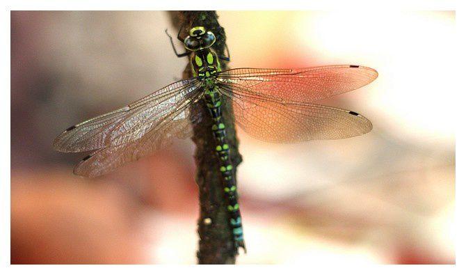 Aeschne bleue mâle ...Aeschna cyanea&#x3B; Ordre des odonates, Famille des Aeshnidés