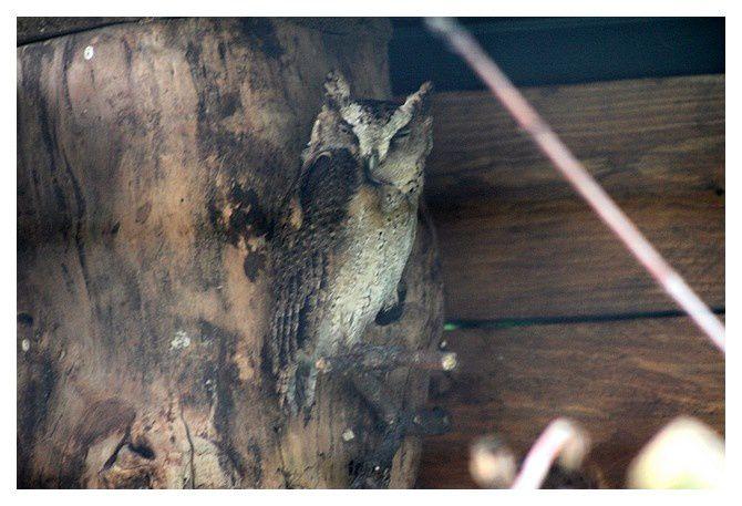 Hibou petit-duc à collier ...Otus bakkamoena &#x3B; ordre des strigiformes, famille des strigidés