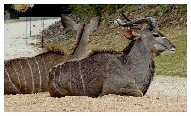grand koudou (mâle et femelle) ... Tragelaphus strepsiceros &#x3B; ordre des cétartiodactyles, famille des bovidés, sous famille des bovinés