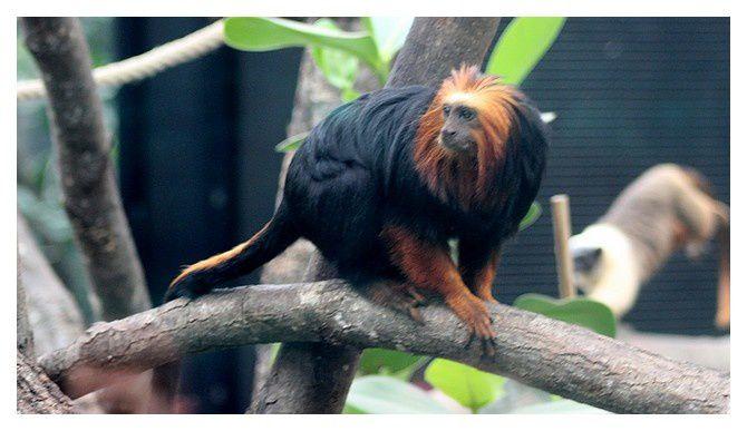 tamarin lion ou Petit singe-lion à tête dorée ... Leontopithecus chrysomelas &#x3B; ordre des primates, famille des Callitrichidés