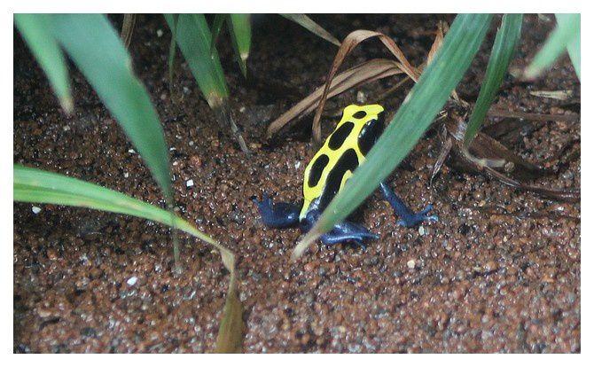 dendrobate à tapirer ... Dendrobates tinctorius&#x3B; Ordre des Anoures, Famille des Dendrobatidés
