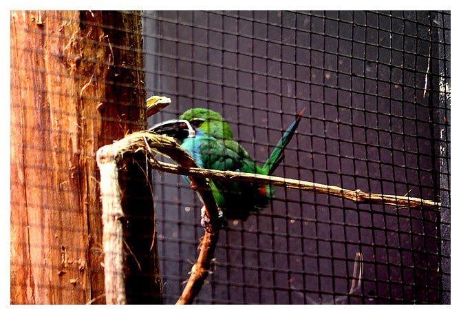 Toucanet à croupion rouge ... Aulacorhynchus haematopygus&#x3B; ordre des piciformes, famille des Ramphastidés