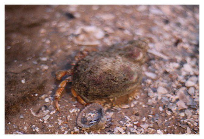 bernard l'hermite ... Pagurus bernhardus (à confirmer)&#x3B; classe des malacostracés, ordre des décapodes, famille à déterminer suivant l'espèce