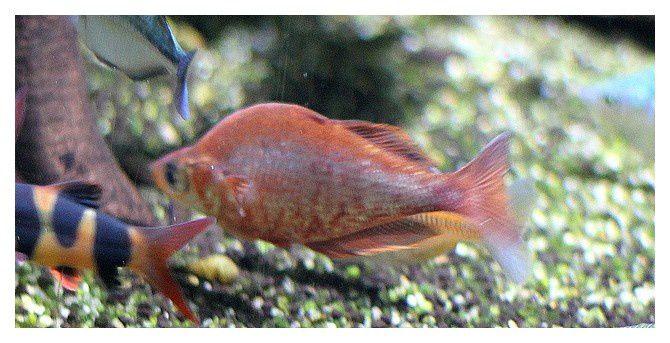 poisson arc-en-ciel rouge ... Glossolepis incisus&#x3B; Ordre des Athériniformes, Famille des Mélanoténidés