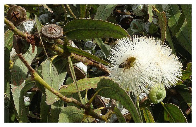 fleurs et fruits d'Eucalyptus globulus.