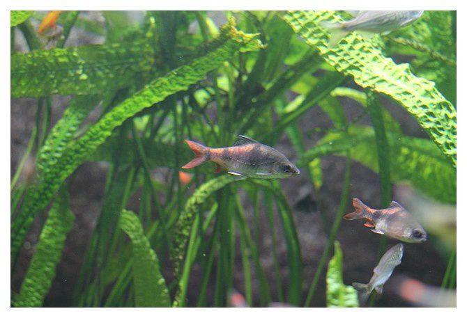 Barbus à trois bandes ... Dawkinsia arulia&#x3B;  ordre des cypriniformes, famille des cyprinidés