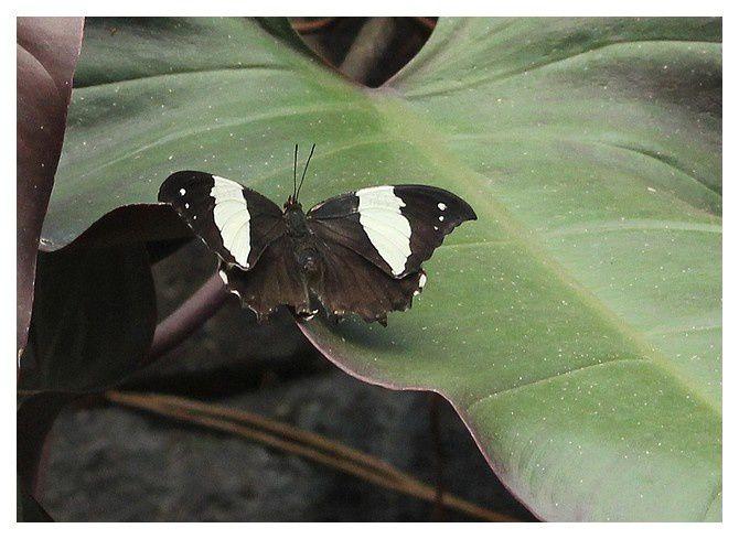 Hypna clytemnestra &#x3B; famille des nymphalidés,   ... ailes ouvertes, et fermées