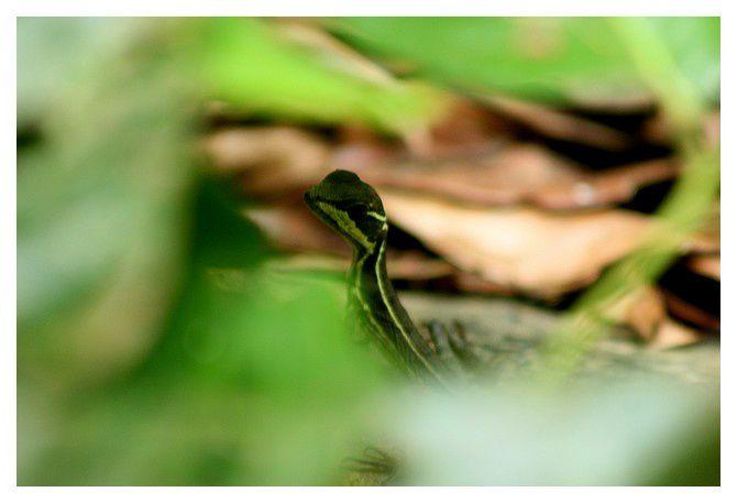 basilic commun... Basiliscus basiliscus&#x3B; famille des Corytophanidés lieu : Uvita (côte Pacifique)