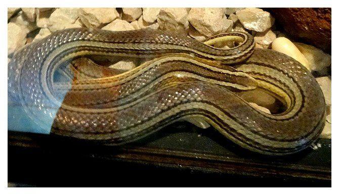 couleuvre ... Conophis lineatus&#x3B; squamate Dipsadidé