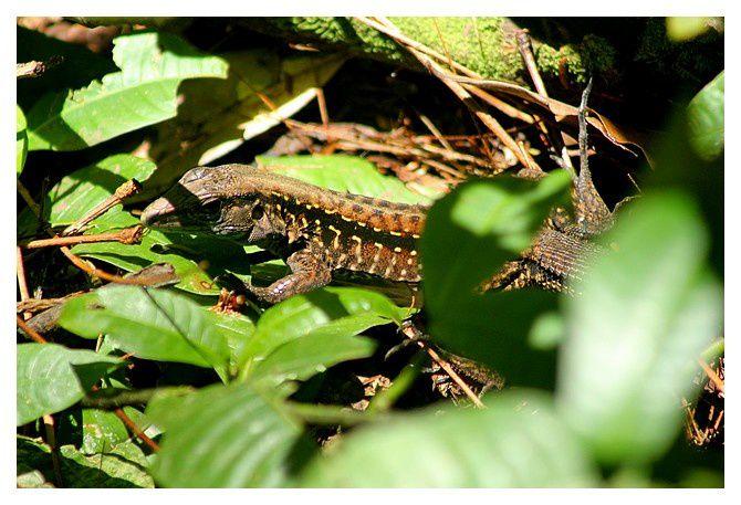 lézard ... Holcosus festivus ordre des squamates sous ordre des sauriens, famille des Teiidés&#x3B; lieux : Tortuguero, Monteverde