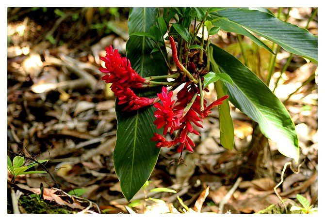 Alpinia Ginger