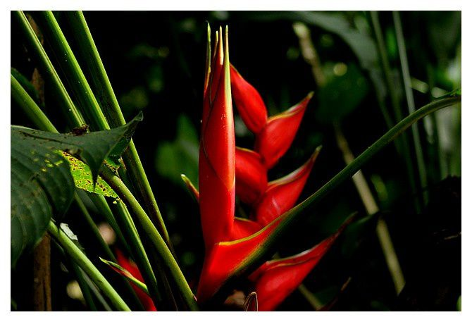 heliconia ... Heliconia stricta