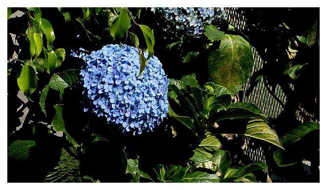3  hortensia ... Hydrangea macrophylla