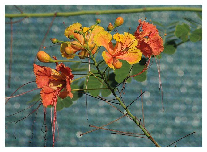 flamboyant ou fleur de paon ... Caesalpinea pulcherrina