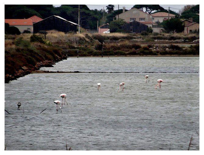 les salins de l'Almanarre/route du sel : les flamants roses